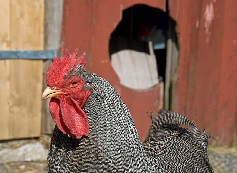På gården finns många olika sorters höns som värper frukostägg både till oss och våra gäster.